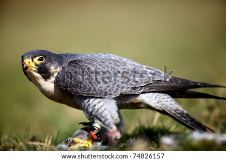peregrine falcon eating a pigeon