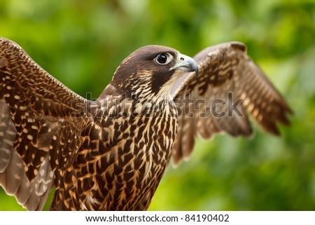 Peregrine Falcon, Falco peregrinus
