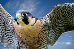 Peregrine Falcon (Falco peregrinus), aka Duck Hawk, the fastest animal on earth. Wings open against blue sky.