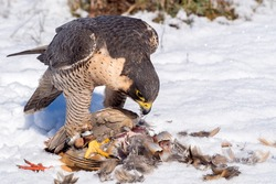 Peregrine falcon (Falco peregrinus) eating a hunted partridge on a snowy ground in a falconry meeting