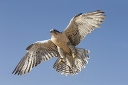 Peregrine Falcon (falco peregrinus) flying in a desert near Dubai, UAE