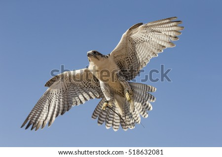 Peregrine Falcon (falco peregrinus) flying in a desert near Dubai, UAE Stock photo ©