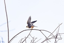 Peregrine falcon (Falco peregrinus) resting on the dry branch of the tree, taking off for flight.