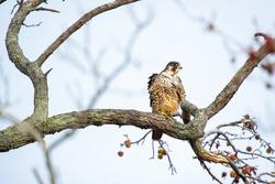 Peregrine falcon (Falco peregrinus) sitting on a tree branch. Bombay Hook National Wildlife Refuge. Delaware. USA