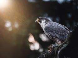 Peregrine falcon (Falco peregrinus) sitting on dry tre. Peregrine falcon in autumn tree. Autumn sun background. Peregrine falcon portrait.