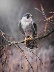 Peregrine falcon (Falco peregrinus) sitting on dry tree. Peregrine falcon in autumn tree. Autumn sun background. Peregrine falcon portrait.