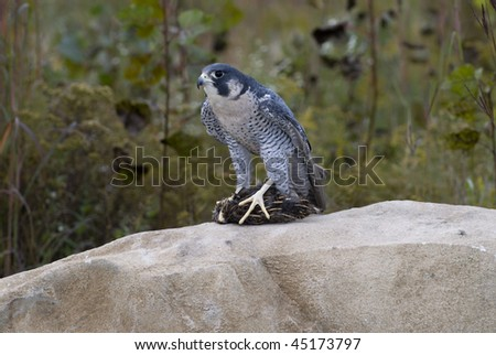 Peregrine Falcon (Falco peregrinus), with prey perched on rocky outcropping.