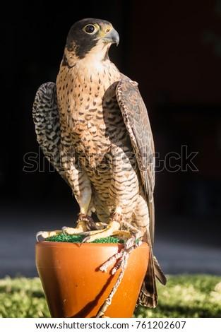 Shutterstock Peregrine Falcon Falconry