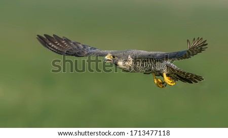 Peregrine Falcon flying in front of green background Stock photo ©