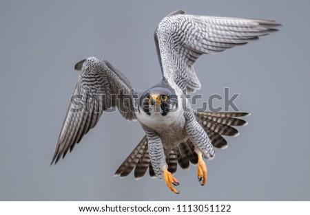 Peregrine Falcon in flight  Stock photo ©