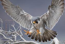 Peregrine Falcon in New Jersey