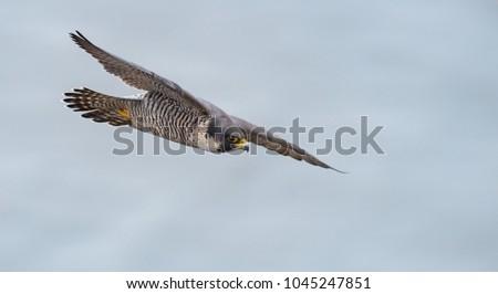 Peregrine Falcon in New Jersey  Stock photo ©