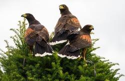 Peregrine falcon is undoubtedly one of Ireland's most impressive birds