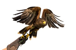 Peregrine falcon on a hand of its trainer.White background