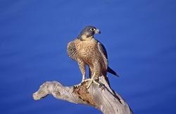 Peregrine falcon on dead tree branch
