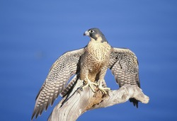 Peregrine falcon on roost