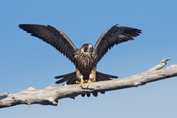 Peregrine falcon perched on tree limb with wings raised.