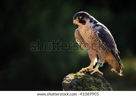 Peregrine Falcon perching on a rock.