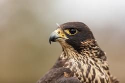 Peregrine falcon portrait close up