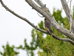 Peregrine Falcon sitting on dead tree branch against green tree background