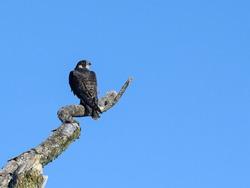 Peregrine Falcon Sitting on Dead Tree Branch on Blue Sky