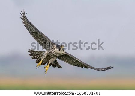 Peregrine Falcon Spreading it's wings Stock photo ©