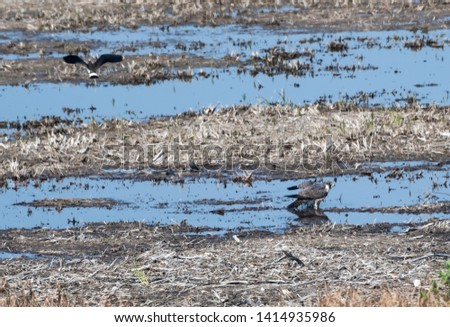 Peregrine Falcon standing in a wetland and being attacked by a lapwing at the island Oland in Sweden