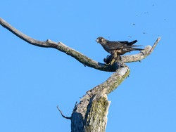 Peregrine Falcon Standing on Dead Tree Branch and Eating a Bird on Blue Sky