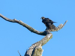 Peregrine Falcon Standing on Dead Tree Branch and Holding a Bird on Blue Sky