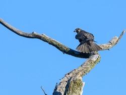 Peregrine Falcon  Standing on Dead Tree Branch on Blue Sky