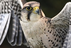 Peregrine Melin Falcon Bird of Prey