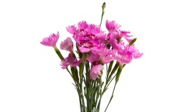 perennial carnation flowers isolated on white background