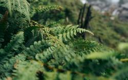 Perennial herbaceous fern - common bracken. Green bracken plant background, close-up.