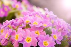 Perennial primrose or primula in the spring garden. Spring primroses flowers, primula polyanthus. Purple primroses in spring woods. Primroses in spring. The beautiful colors of primrose flowers