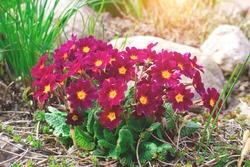 Perennial primrose or primula in the spring garden. Spring primroses flowers, primula polyanthus. Purple primroses in spring woods. Primroses in spring. The beautiful colors primrose flowers garden