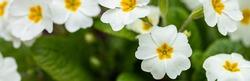 Perennial primrose or primula in the spring garden. Spring primroses flowers, primula polyanthus, white primroses in spring woods. Beautiful colors of primrose in the garden. Nature background