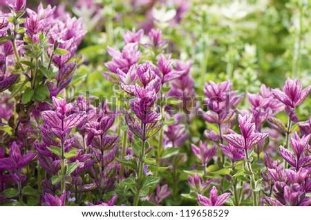 Perennial Sage (Salvia hormium) close-up, selective focus