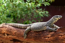 Perentie on a tree log.It's the largest monitor lizard or goanna native to Australia and the fourth-largest living lizard on earth, after the Komodo dragon, Asian water monitor, and crocodile monitor.