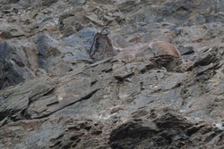 Perfect camouflage of the Himalayan tahr in the rock bed  (Latin name: Hemitragus jemlahicus)