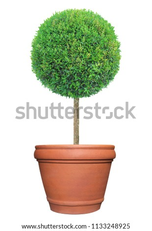 Perfect circle pom-pom shape clipped topiary tree in terracotta clay pot container isolated on white background for formal Japanese and English style artistic design garden