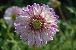 Perfect dahlia bloom with white and pink petals, known as Bristol Fleck