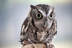 Perfect little owl