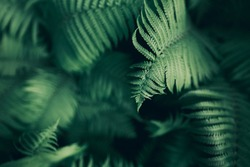 Perfect natural fern pattern. Beautiful background made with young green fern leaves. Color of kale.