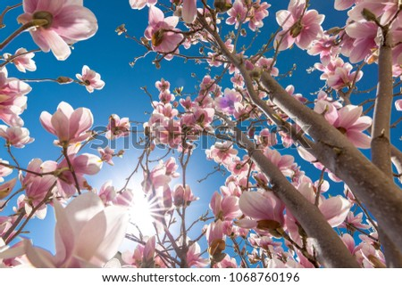 Perfect nature background for spring or summer background. Pink magnolia flowers and soft blue sky as relaxing moody closeup