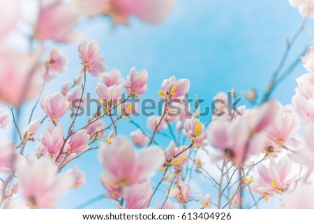 Perfect nature background for spring or summer background. Pink magnolia flowers and soft blue sky as relaxing moody closeup #613404926