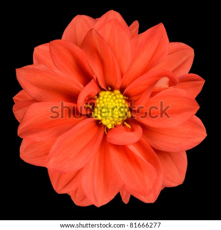 Perfect Orange Dahlia Flower Head with Yellow Center Isolated on Black Background