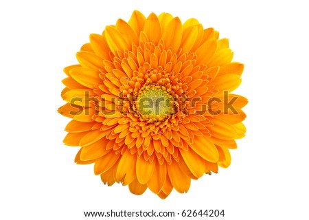 Perfect Orange Gerbera, completely isolated on white background
