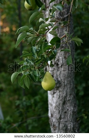 Perfect Pear on Tree