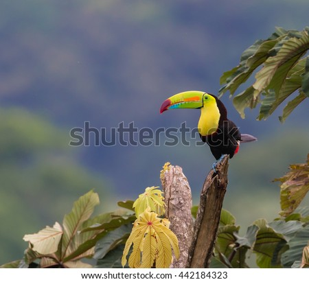 Perfect Perch...A Keel-billed Toucan perfectly positioned to show it's colorful plumage, perceives all that surrounds it.  Photographed in the wild in rural Costa Rica near Arenal Volcano.