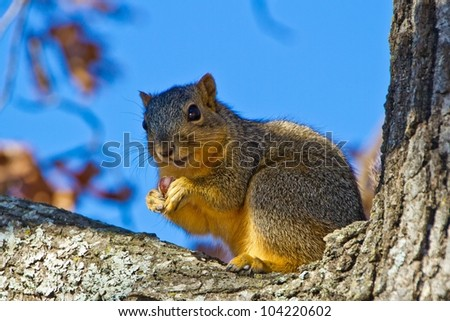 Perfect Pose of Squirrel with a Nut in Tree Watching You.  Taken in the fall in wooded area.